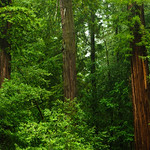 California Redwoods in Big Basin Redwoods State Park, near Santa Cruz and Los Gatos, California.