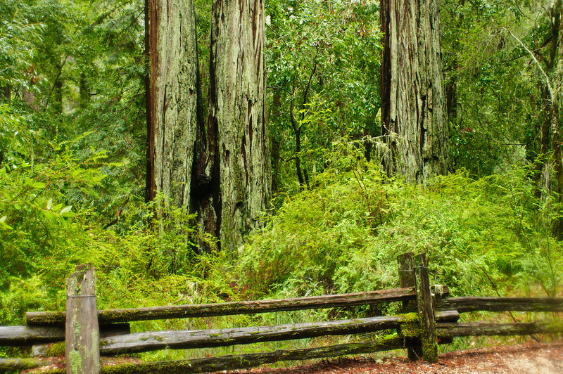 California Redwoods in Big Basin Redwoods State Park, near Santa Cruz and Los Gatos, California  8235