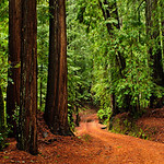 """A Walk Through the Redwoods"" Big Basin Redwoods State Park.  ""A Walk Through the Redwoods"" Big Basin Redwoods State Park.   I captured this today in the pouring rain!  It was such a beautiful walk in the Redwoods.  We had the park to ourselves for half the day (no other crazy folks wanted to hike in the rain!).  When it is wet, the colors come out even more (LOVE those reds and greens!).  With clouds over, the lighting is nice and consistent with no harsh shadows.   This park is located just 60 minutes outside of Silicon Valley off highway 9 above Saratoga."