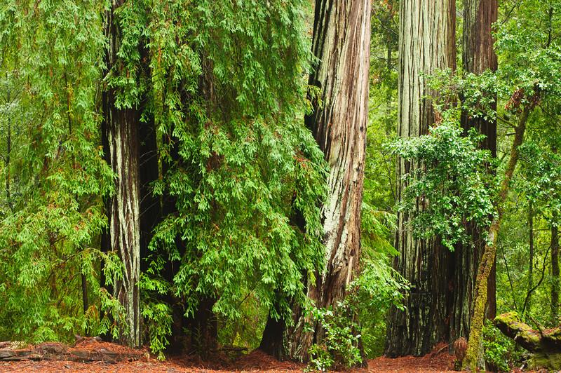 California Redwoods in Big Basin Redwoods State Park, near Santa Cruz and Los Gatos, California  8163