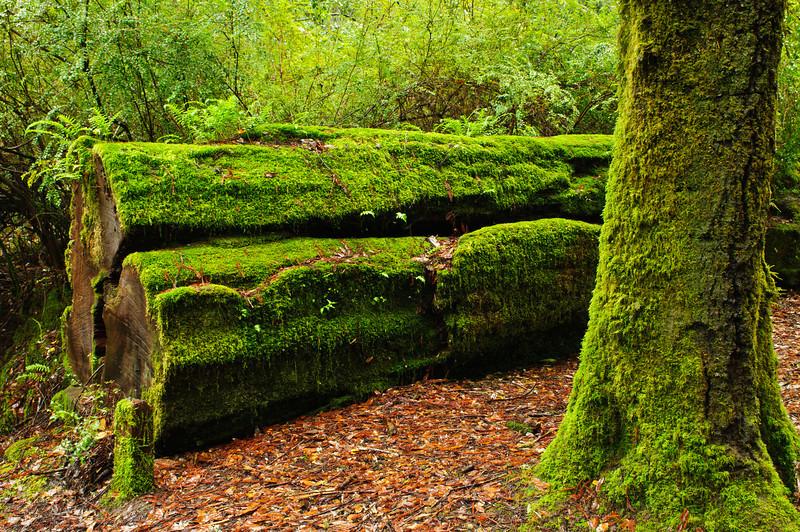 California Redwoods in Big Basin Redwoods State Park, near Santa Cruz and Los Gatos, California   8151