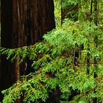California Redwoods in Big Basin Redwoods State Park, near Santa Cruz and Los Gatos, California. 8152