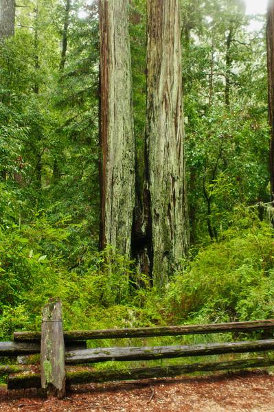 California Redwoods in Big Basin Redwoods State Park, near Santa Cruz and Los Gatos, California.  8239
