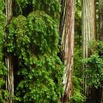 California Redwoods in Big Basin Redwoods State Park, near Santa Cruz and Los Gatos, California   8177