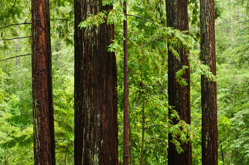 California Redwoods in Big Basin Redwoods State Park, near Santa Cruz and Los Gatos, California   8200