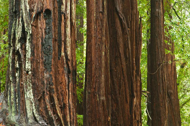 California Redwoods in Big Basin Redwoods State Park, near Santa Cruz and Los Gatos, California   8148