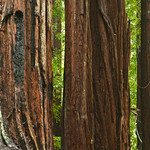 California Redwoods in Big Basin Redwoods State Park, near Santa Cruz and Los Gatos, California   8148