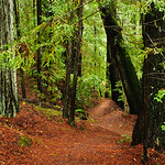 California Redwoods in the Rain.  Big Basin Redwoods State Park, near Santa Cruz and Los Gatos, California.   8221