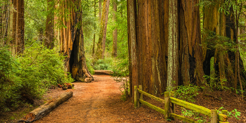 """""""Path Through Big Basin Redwoods"""" I went hiking with the family up at Big Basin Sate Park this weekend. Did you go anywhere?! It is just an hour away from the Bay Area yet many people haven't been there before! It is one of my favorite places to go since it is so close yet so far away from all these people! It was foggy and cold but it made for a nice hike and not too many people up there. Foggy days are perfect for photographing redwoods. Just another place I would like to be on a Friday afternoon. This is a panorama cropped 1x2 ratio."""