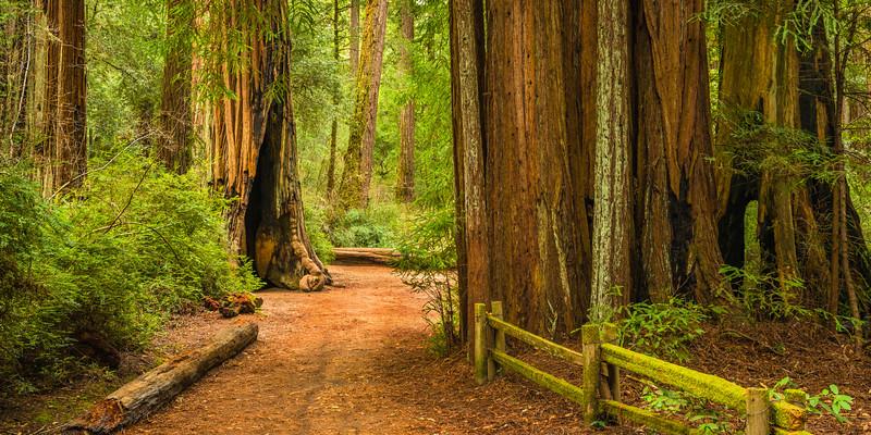 """Path Through Big Basin Redwoods""  - Big Basin State Park, California"
