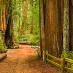 """Path Through Big Basin Redwoods""  - Big Basin State Park, California"