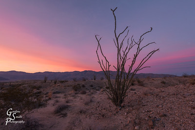 Ocotillo in Purple