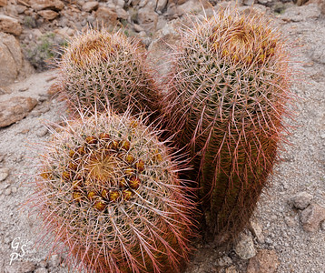 Barrel Cacti Group