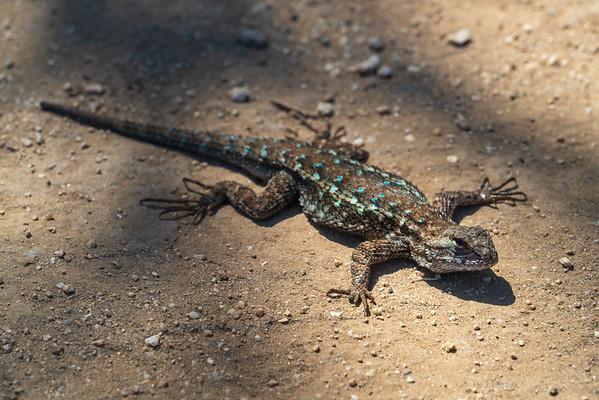 A Lizard at Garland Ranch Regional Park