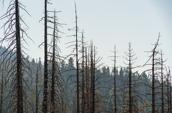 Fire Damaged Forest at Giant Sequoia National Monument