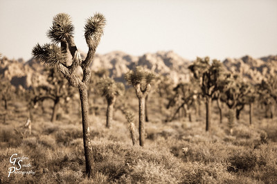 Joshua tree in Sepia