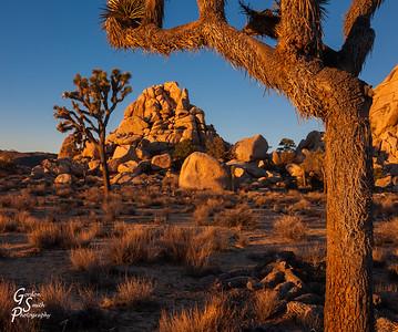 Joshua Tree and Boulders at Sunrise