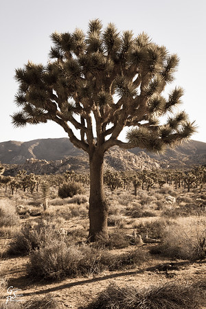Healthy Large Joshua Tree in Sepia