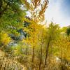 Golden Leaves Backlit