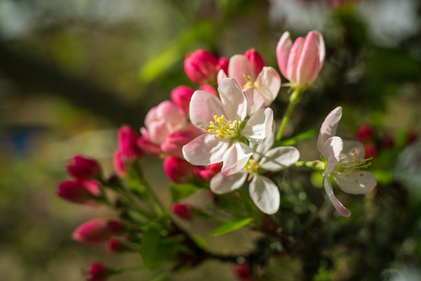 Wild Cherry Blossoms with Red and Pink Colors