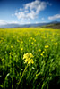 Golden mustard stretches out across a field in Ojai, California.