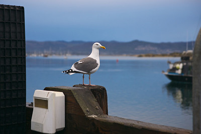 A seagull keeps watch on the early morning harbor at Morro Bay.