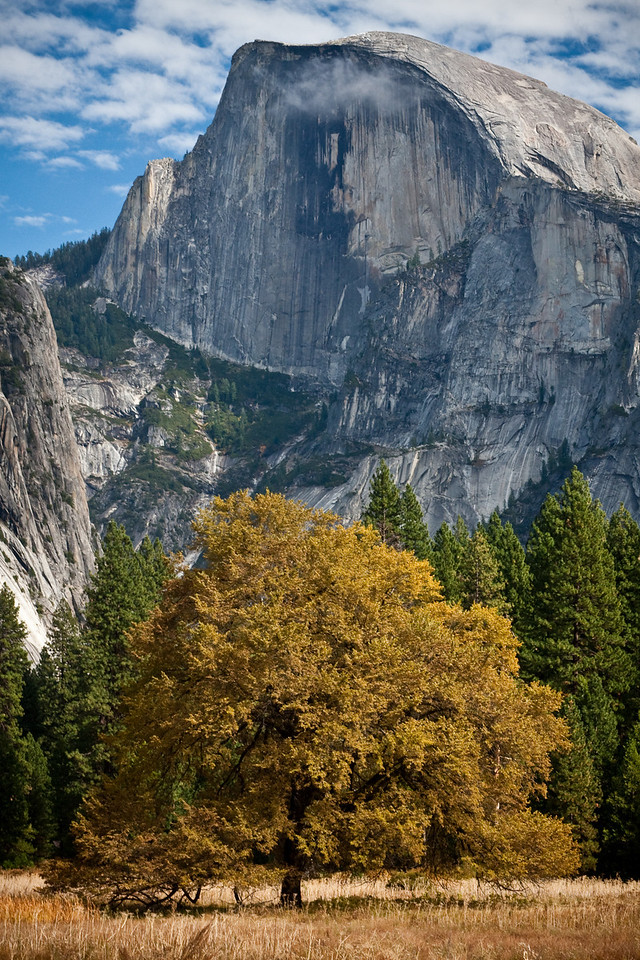 Half Dome with colorful Oak tree, Yosemite NP