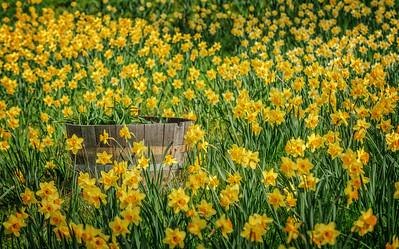 Daffodils at Daffodil Hill