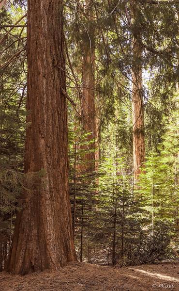 Sunlight filtering through the majestic Sequoias