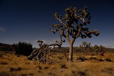 Joshua Trees in the Moonlight
