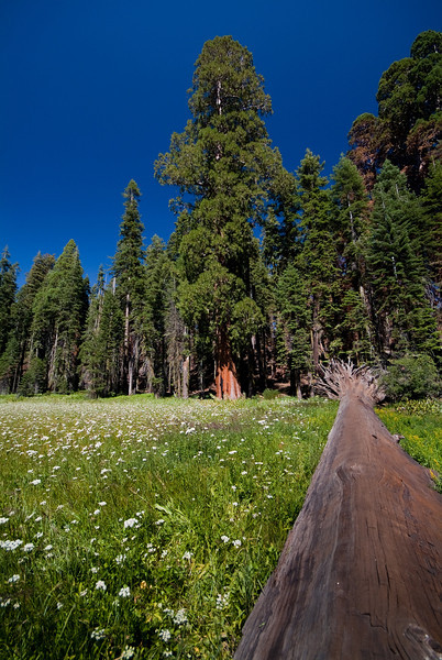 Above The Fallen <br /> <br /> Towering above one of its comrades, a giant sequoia stands on the edge of a flower strewn meadow. <br /> Sequoia National Park, California, USA