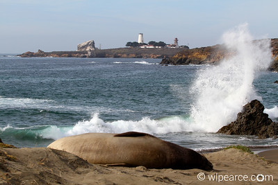 Point Piedras Light Station, California  Elephant Seal Rookery