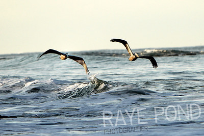 Pelicans off coast of Laguna Beach.