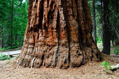 Mariposa Grove of Giant Sequoia's, Yosemite Nat'l Park, CA