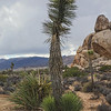 Just a little Joshua Tree... with rain clouds receding...