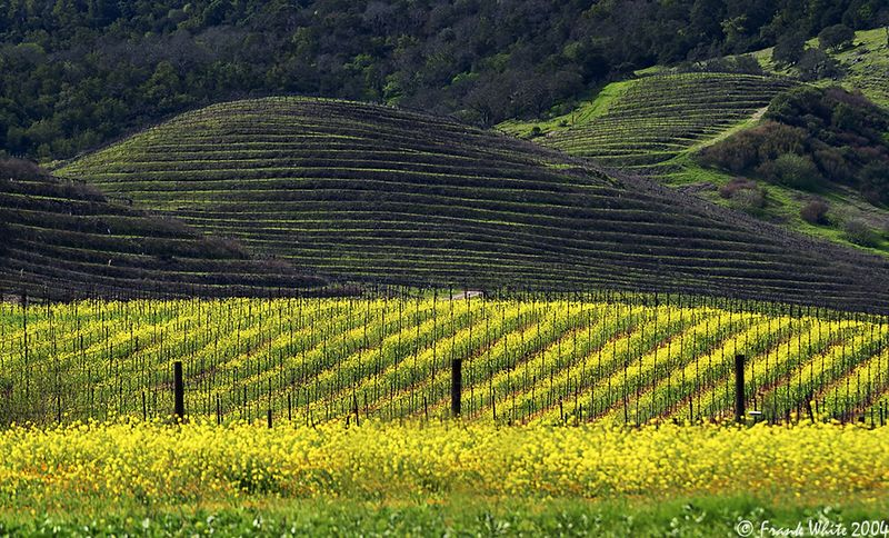 Mustard in the vineyards #1, Napa Valley