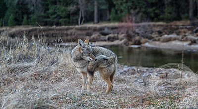 Coyote Catches Its Own Tail