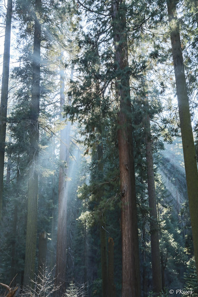 Celestial Fingers of Light shining through the tall Sequoias