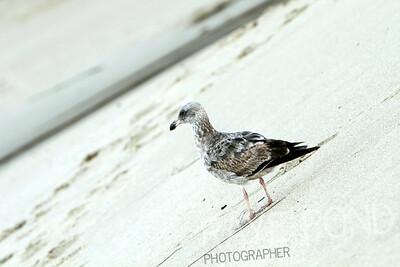 Seagull.  Laguna Beach.