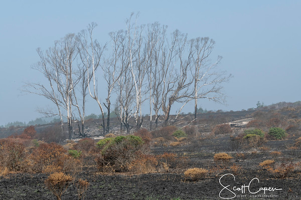 Scorched Trees RT 1 South of Pescadero