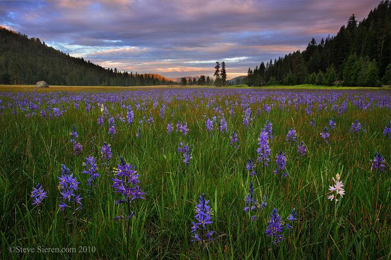 Mountain Lillies Cascade Range Northern California
