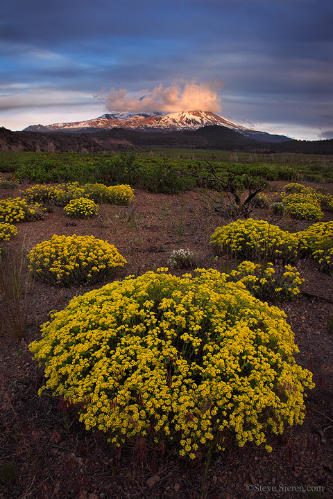 Mt Shasta and golden wildflowers in good light.