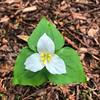 Pacific trilium - Trillium ovatum