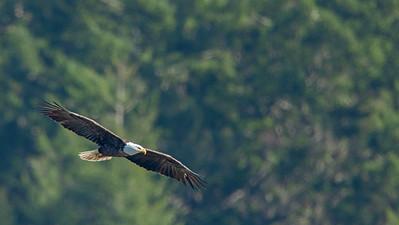 Backyard Bald Eagle