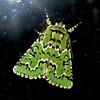 Deceptive Sallow Moth - Feralia deceptiva