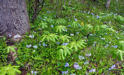 Mayapple and wildflowers, near Dryfork, West Virginia