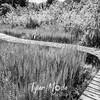 23  G Boardwalk Through Reeds BW