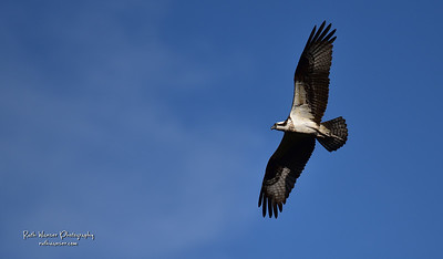 Osprey Black Hills National Forest