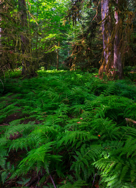 Forest Dressed In Green Cathedral Grove,  Vancouver Island, BC, Canada