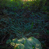 Forest Lily Pads With Last Light Pacific Rim National Park Reserve, Vancouver Island, BC,  Canada